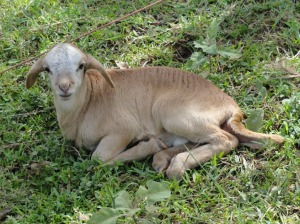 Kenyan baby sheep
